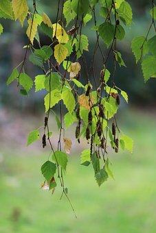 Foliage, Birch, Tree, Betulus Pendula, Nature, Garden