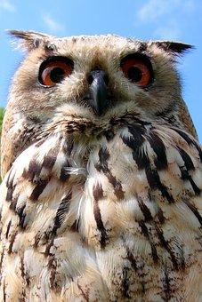 Owl, Bird, Bird Of Prey, Owls, Eyes, Beak, Animal