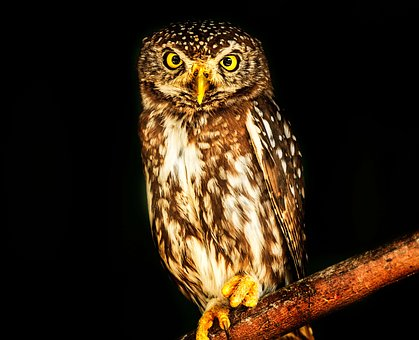 Owl, Bird, Pearl Spotted, Wise, Wildlife