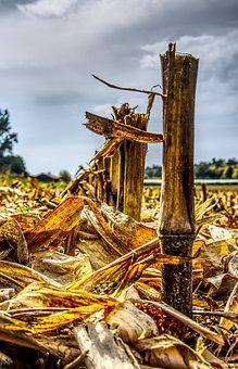 Corn, Cut Off, Harvest, Harvested, Agriculture, Straw