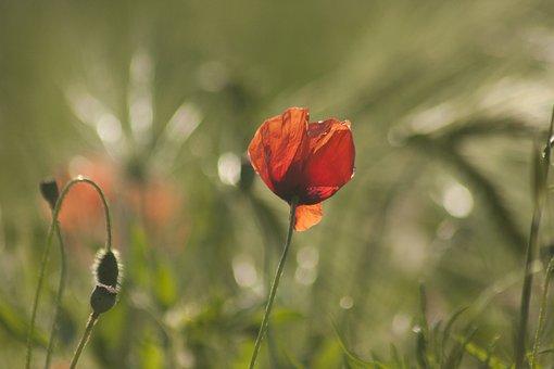 Poppy, Flower, Flowers, Red, Spring, Nature, Green