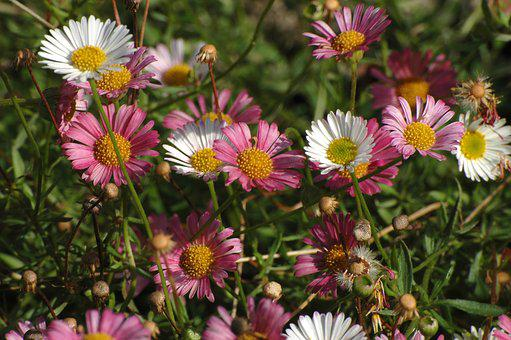 Daisy, Garden, Meadow, White, Pink, Blossom, Bloom