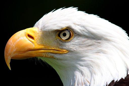Bird, Bird Of Prey, National Bird, Nature