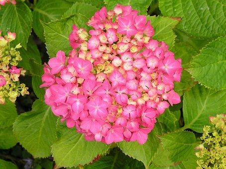 Flower, Hydrangea, Sheet, Nature, Bloom, Garden Plant
