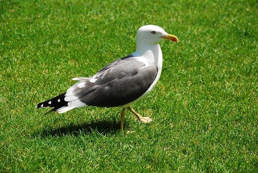 Seagull, Bird, Seevogel, Animals