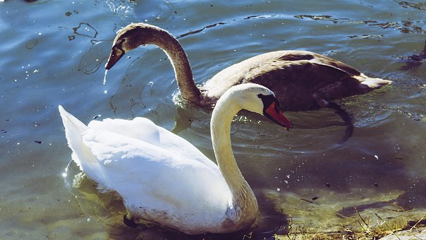 Swan, Young Swan, Wildlife Photography, Baby Swan
