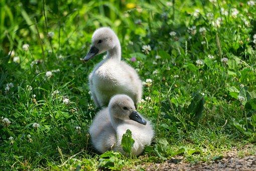 Animals, Birds, Swans, Nature, Water Bird