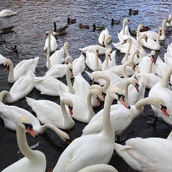 Swans, Wild Birds, Nature, Water, River Thames, Bird