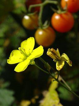 Rocket, Arugula, Salad, Rocket Flower, Rukolablüte