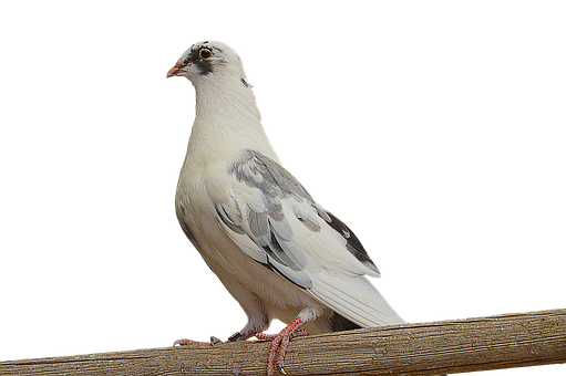 Png, Paloma, White Dove, Dove On Branch, Ave, Feathers