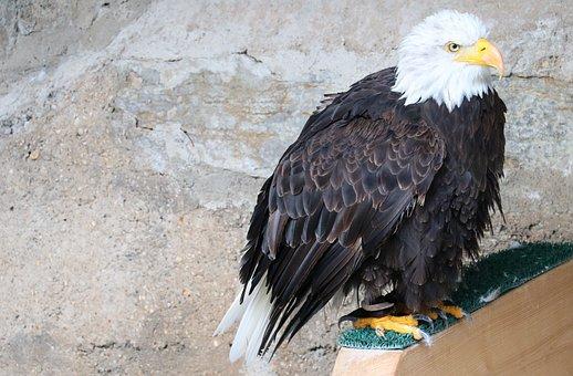 Bald Eagle, Eagle, Castle Guttenberg, Raptor