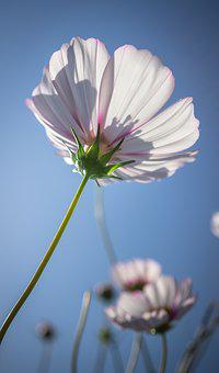 Cosmos, Autumn, Flowers, Plants, Nature, Green, Pool
