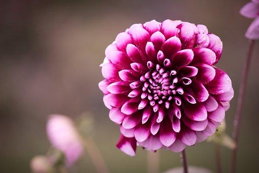 Dahlias, Dahlia, Composites, Asteraceae, Blossom, Bloom