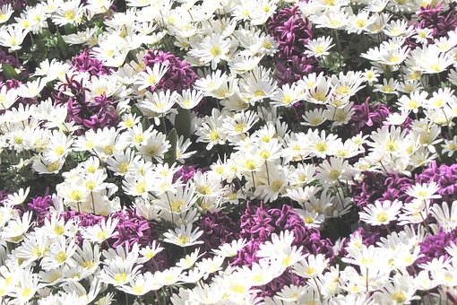 Daisies, Margriet, Flower, White, Field, Yellow Heart