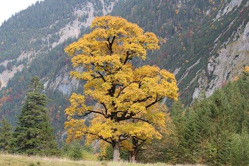 Tree, Deciduous Tree, Nature, Autumn, Yellow
