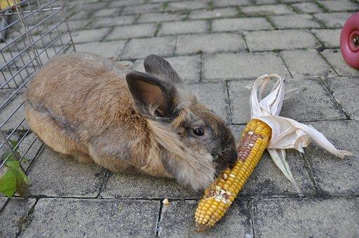 Rabbit, Corn, Vegetables, Animal, Eat