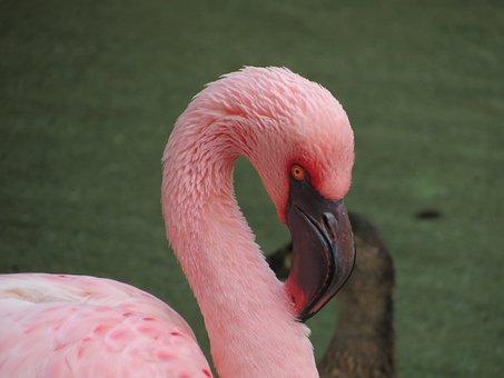 Bird, Flamingo, Pink, Tropical, Exotic, Animal, Wild