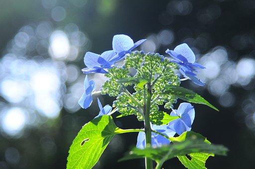 Hydrangea, Light, Flowers