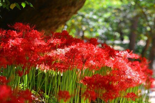 Red Spider Lily, Korea, Incheon, Ganghwado