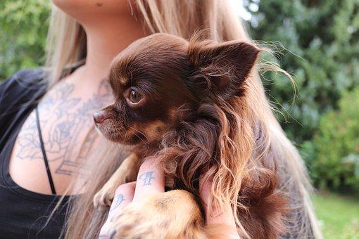 Chiwawa, Small Dog, Chihuahua, Small, Cute, Pet, Hairy
