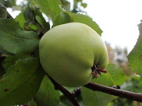 Apple, Green, Mature