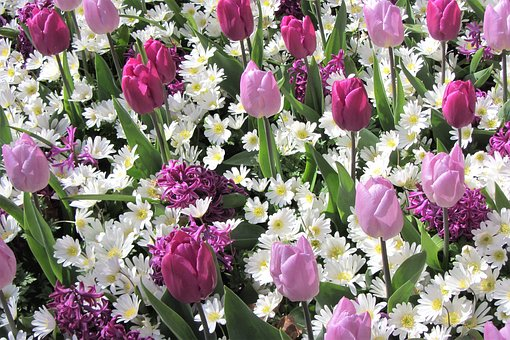 Daisies, Tulips, Tulip, White, Margriet, Purple, Pink