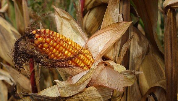 Corn, Plant, Grains, Corn Plants, Piston