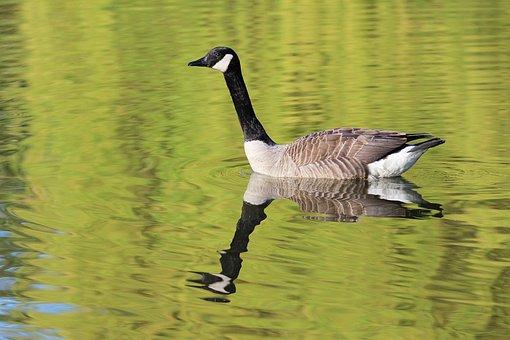 Goose, Pond, Birds, Plumage, Animals, Pen, Animal