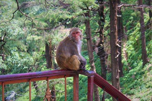 Monkey, Rhesus, Animal, Nature, Macaque, Cute, Primate