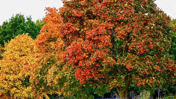 Tree, Red, Nature, Season, Autumn, Fall, Forest, Yellow