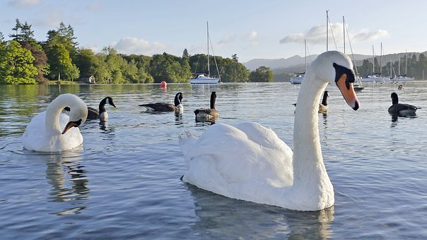 Swan, Lake, Water, Swimming, Bird, Pool, Reflection