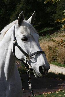 Show Horse, White Horse, Dressage, Stallion