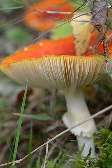 Mushroom, Fly Agaric, Plaatjespaddenstoel, Tracks