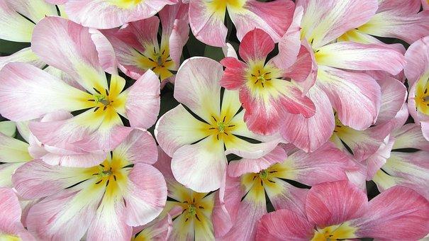 Tulips, Tulip, Romantic, Pink, Bouquet, Bulb, Spring