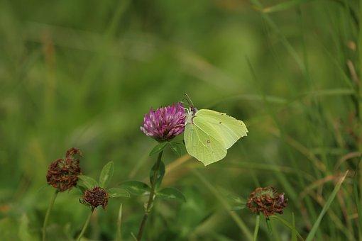 Klee, Flower, Butterfly, Yellow, Gonepteryx Rhamni