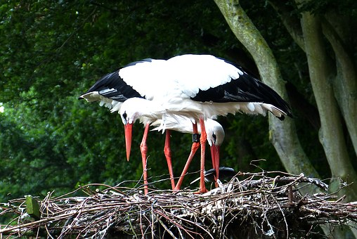 Storks, Nest, Rearing, Föhr, Nature, Stork, Bird