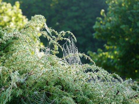 Cobweb, Juniper, Morning, Drops, Nature, Spider's