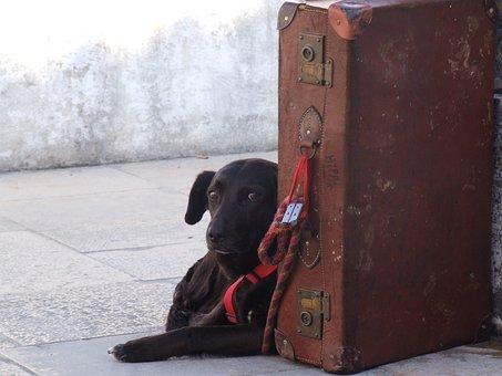 Wait, Dog, Animal, Suitcase, Owner, Waits, Look, Feel