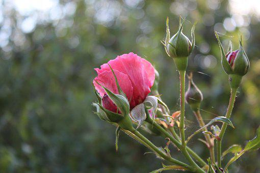 Autumn, Rose, Flower, Plant, Red, Wild Rose, Sunny