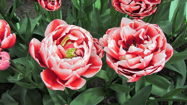 Tulips, Tulip, Bulb, Netherlands, Spring, Bulbs, Red