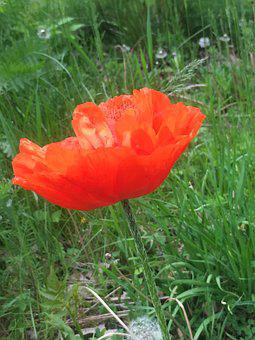 Poppies, Red, Nature, Field, Poppy, Spring, Flower