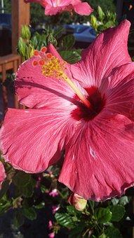 Hibiscus, Pink, Red, Flower, Floral, Bright, Garden