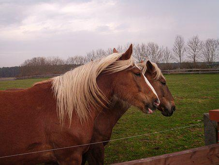 Horses, Coupling, Paddock, Horse Pasture, Horse Head