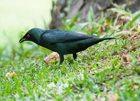 Asian Glossy Starling, Bird, Penang, Malaysia, Asia