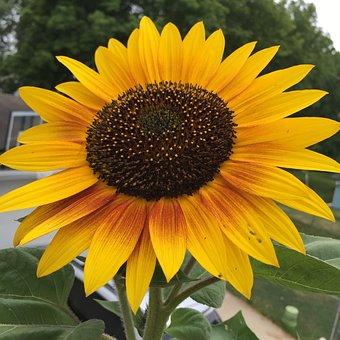 Sunflower, Yellow, Brown, Summer, Nature, Flower, Sun