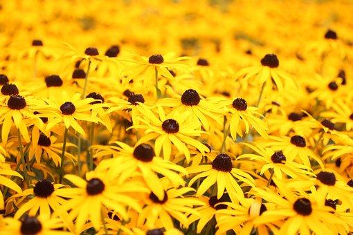 Yellow, Margarets, Flowers, Nature, Summer, Garden