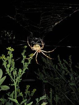 Spider, Argiope Argentata, Night