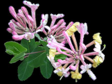 Honeysuckle, Pink, Perfume, Climber