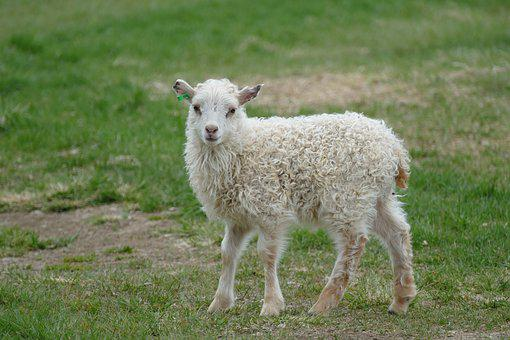 Sheep, Small, Animal, White, Schäfchen, Lamb, Nature