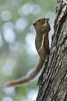 Variable Squirrel, Penang, Malaysia, Squirrel, Forest